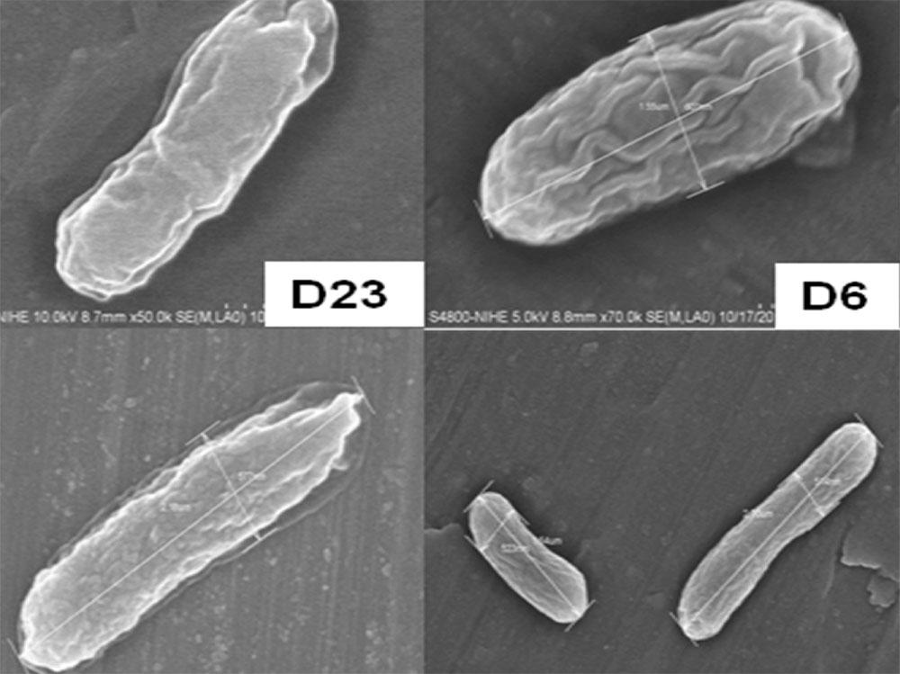 Cellular morphology of bacterial strains (SEM4800X)