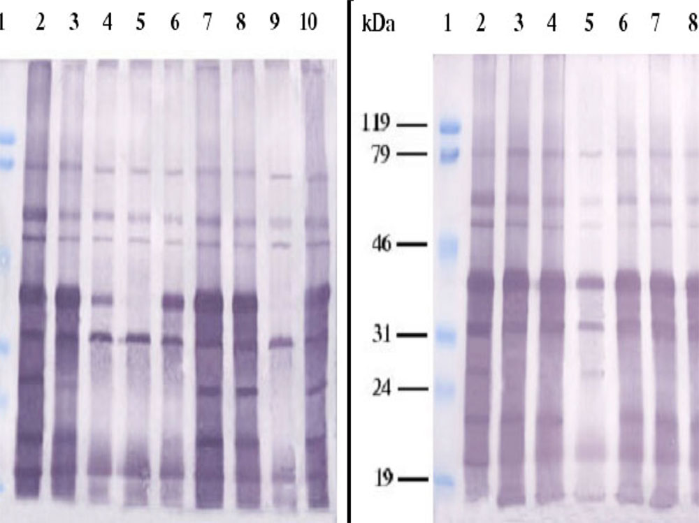 Western-blot of Ogawa antiserum and V.cholerae strains