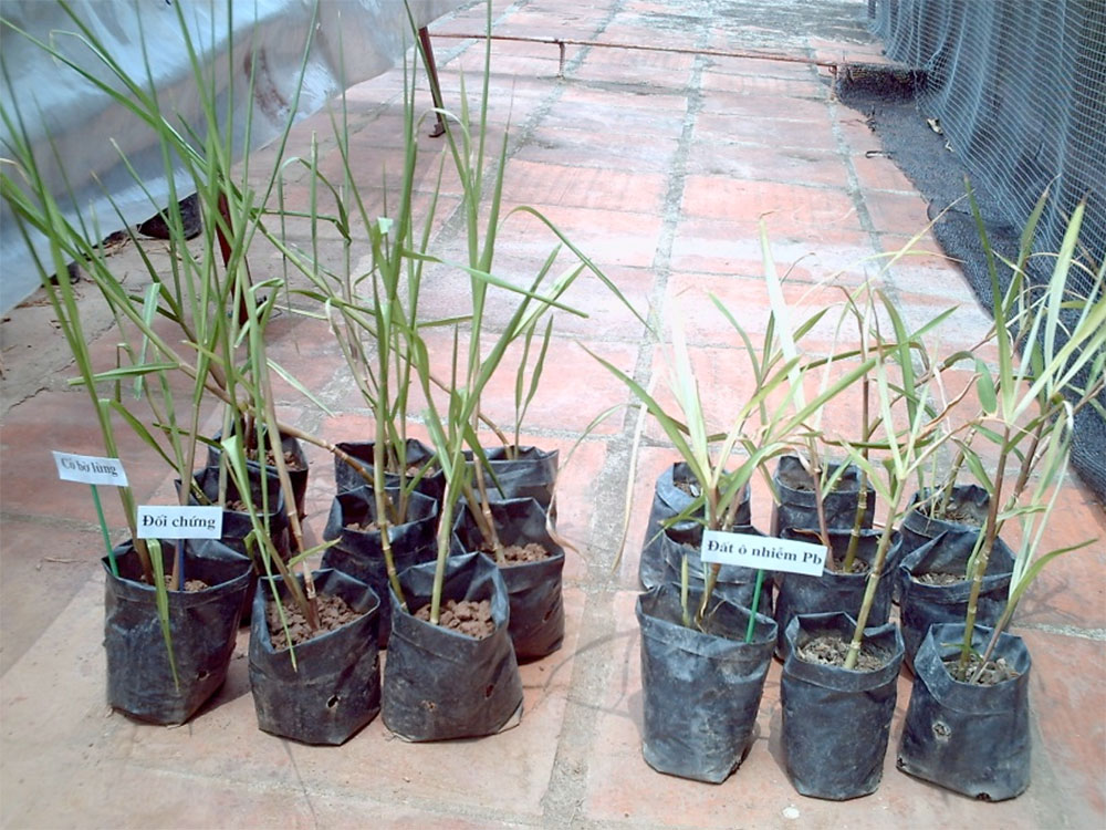 H.acutigluma after 2 months cultivated on the alluvial soil (left) and heavy metal polluted soil (right)