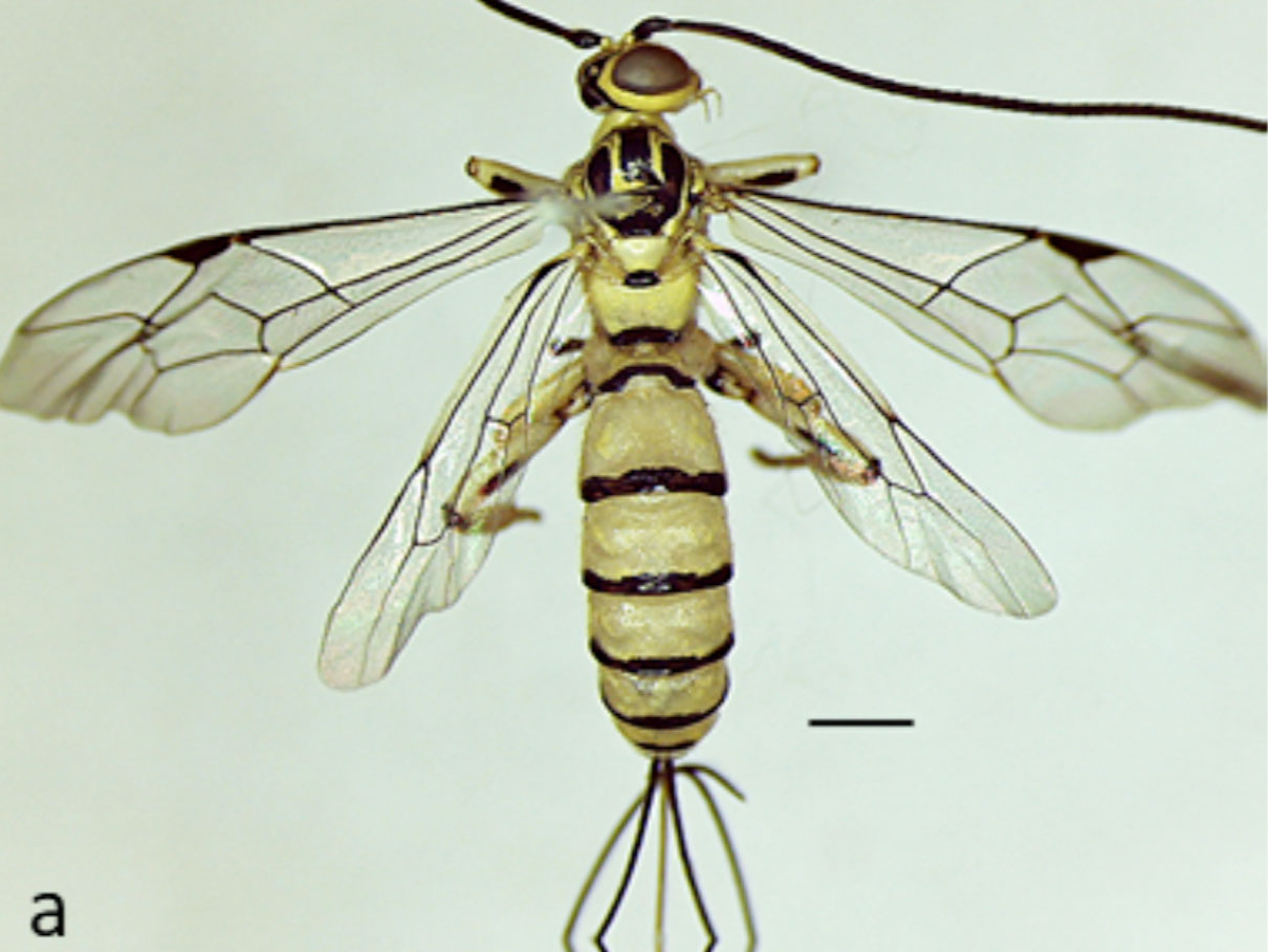 Dorsal view of Flavopimpla nigromaculata from Kon Tum Province