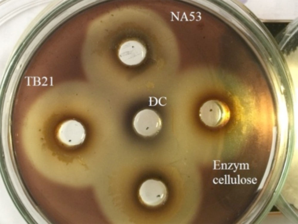 Produce digestive enzyme cellulose of TB 1.1; TB 2.1; TB 4.3; TB4.4 and NA 5.3