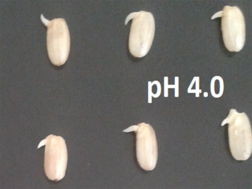 Grains of brown rice with different germinating conditions