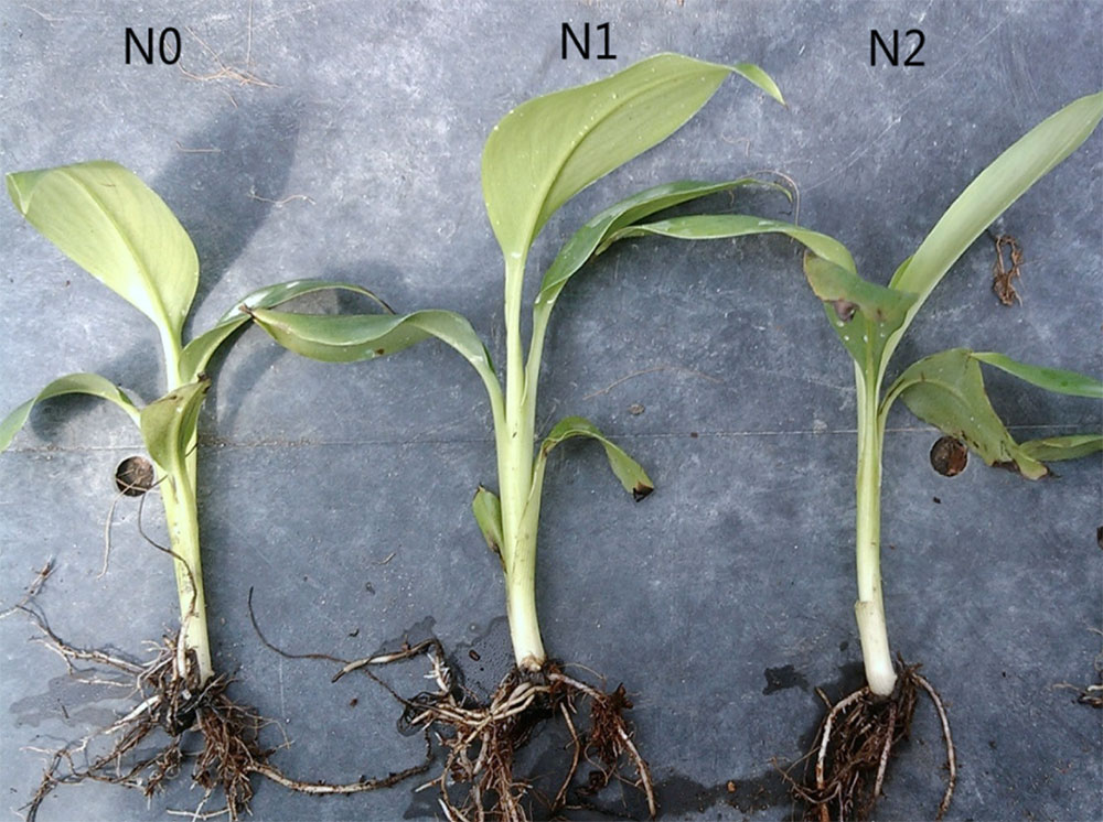 Banana plants watered with different concentrations of nano silver solution after 30 days