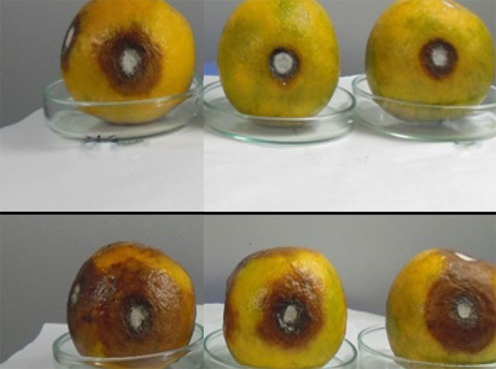 Efficacy of leaf extracts on anthracnose lesions' development caused by Colletotrichum sp. on orange fruits