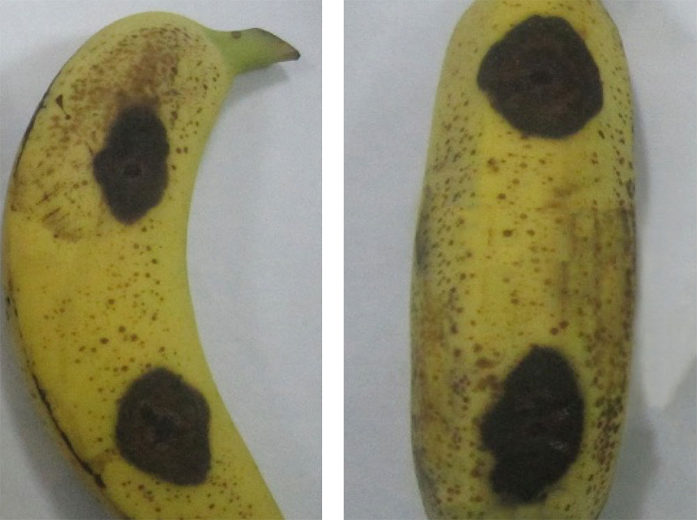 Efficacy of CaCl2 treatment before Colletotrichum inoculation on Cavendish bananas
