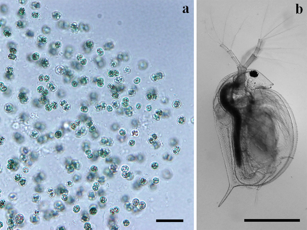 The organisms for the toxicity test. a, Microcystis aeruginosa; b, newly born Daphnia magna.