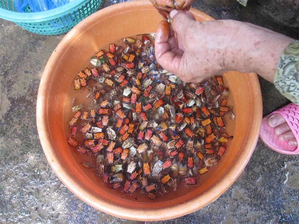 People in Son La processing the longan stink bug (Tessaratoma papillosa)