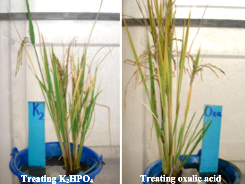 Rice plants with different chemical treatments